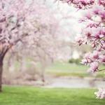 magnolia-trees-556718_1280-150x150