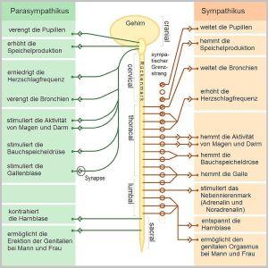 Das_vegetative_Nervensystem