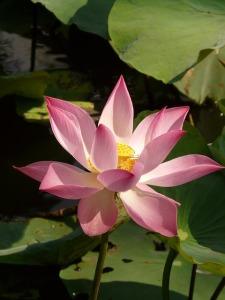 lotus-4434_640