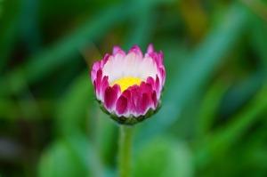 daisy-1317232_640